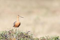 Barge rousse / bar-tailed godwit (Simon Théberge) Tags: