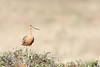 Barge rousse / bar-tailed godwit