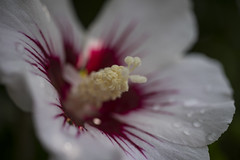 First photos with Nikkor 55/2.8 (arnpre) Tags: macro d750 nikkor 5528 nikon hibiskus malvoideae