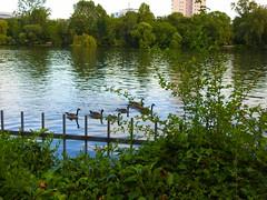 Kanadagänse auf dem Main (Sophia-Fatima) Tags: frankfurt hessen deutschland main