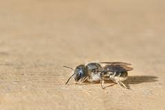 IMG_4949-1 (jörgpreusser) Tags: biene insekt makro macro