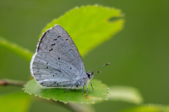 Holly Blue (www.neilporterphotography.com) Tags: holly blue butterfly insect nature wildlife