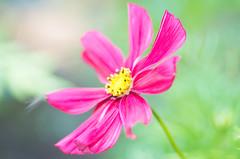 Cosmos (~DGH~) Tags: 2019 botanicgarden july pentaxk50 summer cosmos macro smcpentaxdfamacro100mmf28wr ~dgh~