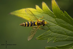 hover (John Chorley) Tags: hover hoverfly macros macro macrophotography springwatch johnchorley 2019 closeup nature yellow green garden leaf fly insects