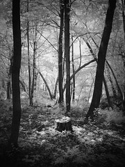 Place of Power [Explore] (Mulewings~) Tags: 720nm kolarivisionfilter infrared infraredphotography deepwoods forest forestfloor thesleepingforest blackandwhite explore fairbwchoice county