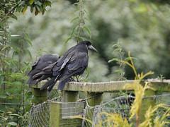 Sitting on the fence (yvonnepay615) Tags: panasonic lumix gh4 nature birds rook pensthorpe norfolk eastanglia uk