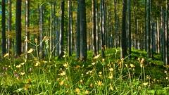 Fioritura in foresta (Fernando De March) Tags: fiori fioritura gialloforestacansiglioboscocolore alberi alberoveneto belluno