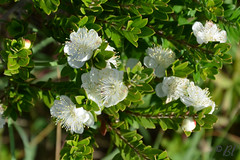 """blanc-neige en juillet (Brigitte .. . """"Tatie Clic"""") Tags: 201707134 juilet été floresauvage fleur sansretouche fleurblanche vert verdure macro lotetgaronne aquitaine francesudouest"""