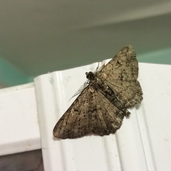 Moth, 2019 Jul 11 (Dunnock_D) Tags: britain chester england gb uk unitedkingdom grey insect moth shower