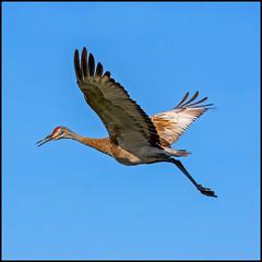 Sandhill Crane Flight (Rodrick Dale) Tags: sandhill crane flight birds georgian bay lake huron ontario canada