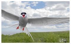 B57I2719-Arctic-Tern,-Sterna-paradisaea (duncancooke.happydayz) Tags: arctic tern farne islands british wildlife uk sea birds bird birdperfect birdlife sterna paradisaea red eye terns long nanny northumberland north east national trust reserve