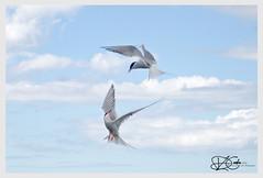B57I2662-Arctic-Tern,-Sterna-paradisaea (duncancooke.happydayz) Tags: arctic tern farne islands british wildlife uk sea birds bird birdperfect birdlife sterna paradisaea red eye terns long nanny northumberland north east national trust reserve
