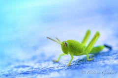 Ready (frederic.gombert) Tags: grasshopper insect blue green light summer sun plant macro animal flower nikon
