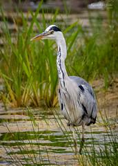Grey Heron (Photography - KG's) Tags: wildlifephotography wildlife reserve bird birds animals greyheron summerleys nature wildlifetrust