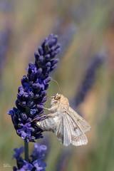 Motte im Lavendel (Claudia Brockmann) Tags: natur nature lavendel lavendelfelder frankreich france nikon nikond500 motte falter