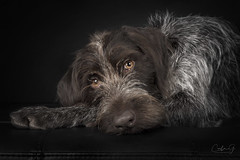 Pepper (carla ghysels) Tags: alovelywiredgermanpointer dog dogs pointer studiophotography lowkey carlagphotography k9