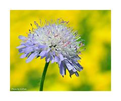 Meadow flower (Graham Pym On/Off) Tags: flower floral petals pollen purple nikon nectar stigma stamen sigma105mm d7100 devon alittlebeauty coth fantasticnaturegroup coth5 greatphotographers