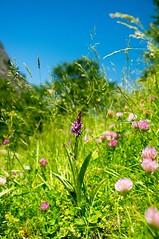 Flore du cirque d'Anglade (Ariège) (PierreG_09) Tags: ariège pyrénées pirineos anglade cirque cirquedanglade flore fleur plante couserans montagne occitanie midipyrénées orchid orquidea orchidée orchidacée orchis