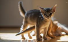 Sun Spot Equals Play Spot (peter_hasselbom) Tags: cat cats kitten kittens abyssinian 8weeksold blue play game fight playfight playing hardwoodfloor sun sunspot hardlight 50mm f14 backlight
