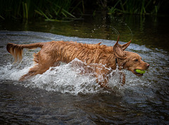 Wimbledog (paullangton) Tags: dog spaniel water river splash hertford nature countryside outdoors play fun canon wet action ears tennis juno springer
