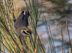 I see you (JustAddVignette) Tags: warriewoodwetlands yellowfacedhoneyeater australia birds cloudy drizzle newsouthwales pacificblackduck swamp sydney windy winter