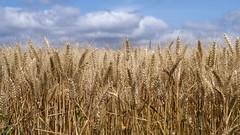 Agriculture (garpar) Tags: agriculture coulommiers campagne brie iledefrance france seineetmarne garpar nikon d7500 ciel blé nuage