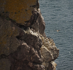 guillemot colony (Johnson Cameraface) Tags: 2019 june summer olympus omde1 em1 micro43 mzuiko 40150mm f40f56r johnsoncameraface stabbshead scotland naturereserve nationaltrustforscotland walking holiday guillemot