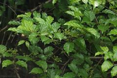 IMG_6504 not determined (Raiwen) Tags: africa guinea flora westafrica vegetation shrub moyenneguinée unidentifiedplant