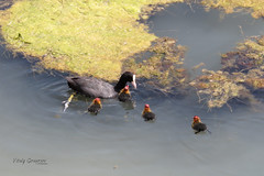 Eurasian Coot with chicks. (Vitaly Giragosov) Tags: coot fulicaatra waterbird crimea sevastopol russia blacksea севастополь крым россия лысуха