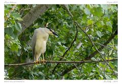 Héron bihoreau | Black-crowned Night Heron (BerColly) Tags: france auvergne puydedôme oiseau bird heron bihoreau blackcrownednightheron arbre tree branche bercolly google flickr