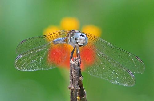 Blue dasher in scarlet milkweed