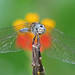 Blue dasher in scarlet milkweed