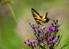 bounty (long.fanger) Tags: ironweed tigerswallowtail