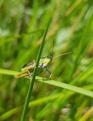 Grasshopper (JennyBlack89) Tags: grasshopper cramlington insects macro