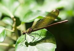 Dragonfly (lars.mertner@t-online.de) Tags: crete kreta natur macronikor105mm libelle dragonfly nikonz6