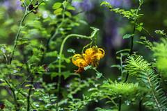 Wild Lily (LifeLover4) Tags: liliumcolumbianum columbiatigerlily bokeh mtrainier nationalpark macro nature explore explored interesting interestingness stickneydesign hughstickney