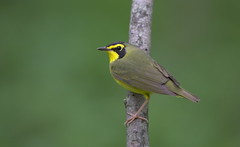 Kentucky warbler Lake hope oh. (mandokid1) Tags: canon 1dx ef600mm11 birds warblers