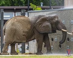 Half wet (photo-engraver1) Tags: african elephants africanelephants animals animal wisconsin milwaukee milwaukeezoo ruth