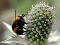 Dunkle Erdhummel (Bombus terrestris) (Carsten Weigel) Tags: insekt insect makro macro carstenweigel olympus60mmf28macro panasonicgx8 hummel bumblebee