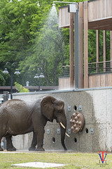Cooking Off (photo-engraver1) Tags: african elephants africanelephants animals animal wisconsin milwaukee milwaukeezoo ruth