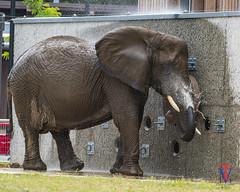 Spraying her face (photo-engraver1) Tags: african elephants africanelephants animals animal wisconsin milwaukee milwaukeezoo ruth