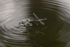 Près de la mare... (pictopix) Tags: macro sigma150mmmacro insecte libellule mare