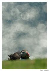 Macareux moine - Puffin (muriel.schupbach) Tags: murielschupbach mscphotoblog4evercom macareuxmoine puffin bokeh animal bird birdwatching oiseau oiseaudemer