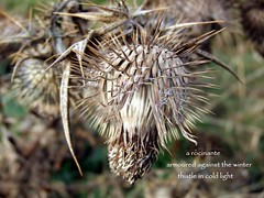 still tilting after all these years (floots in devon) Tags: poem poetry haiku thistle donquixote nature flora