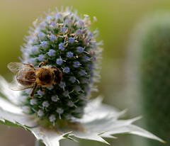 Biene (Carsten Weigel) Tags: insekt insect makro macro carstenweigel olympus60mmf28macro panasonicgx8 biene bee