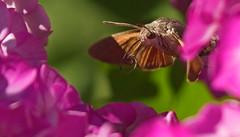 Hummingbird Hawk-Moth (**klaracolor**) Tags: phlox klara klarathomas klaracolor fauna hummingbirdhawkmoth moth macroglossumstellatarum butterfly hummingmoth sphingidae insect taubenschwänzchen kolibrivlinder pijlstaart olifantsvlinder migratorybutterfly animal flora flower tongue butterflytongue