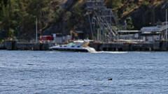 Halichoerus grypus - a grey seal at Berg Oil Port in Nacka, Stockholm (Franz Airiman) Tags: båt boat ship fartyg stockholm sweden scandinavia halichoerusgrypus säl seal sälis sälx grayseal greyseal animal djur wild vild vattendjur mammal watermammal däggdjur vattendäggdjur gråsäl