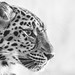 Nahaufnahme eines Leoparden
