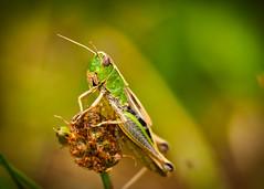 Grashüpfer (Klaus Lechten) Tags: grashüpfer feldheuschrecke heuschrecke insekt wiese wald springen srung natur nature tier makro sigma105 olympus klauslechten grün braun rot bokeh grasshopper locust hopper