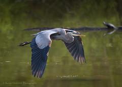 Great Bue Heron (Kevin James54) Tags: nikond850 tamron150600mm animals ardeaherodias avian bird greatblueheron heron kevingianniniphotocom